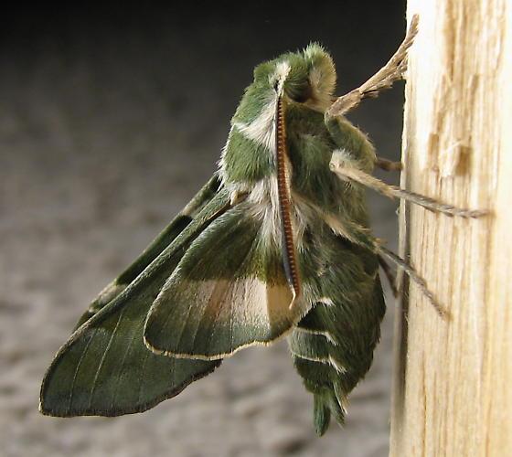 Proserpinus clarkia - Proserpinus clarkiae - male
