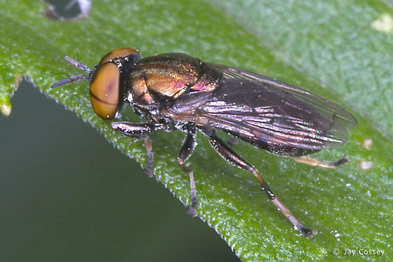 Metallic Fly - Orthonevra - male