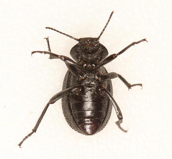 rough darkling beetle - Eleodes