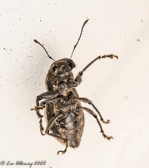 Seeno814 - Naupactus leucoloma