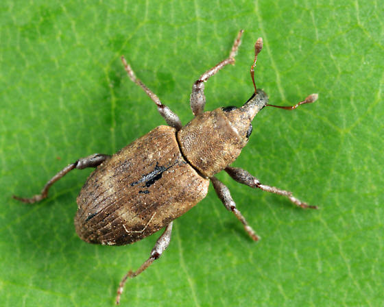 weevil - Bagous americanus - female
