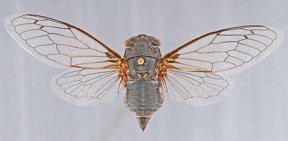 Cicada, female dorsal, backlit wings - Hadoa chiricahua - female
