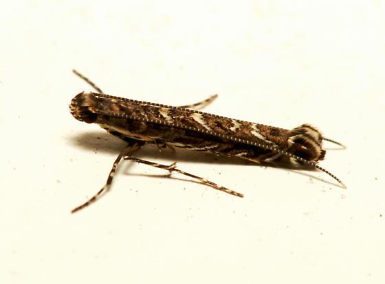 Moth for ID - Neurobathra strigifinitella