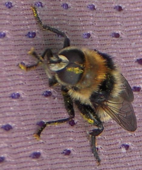 Fly - Syrphidae? - Merodon equestris