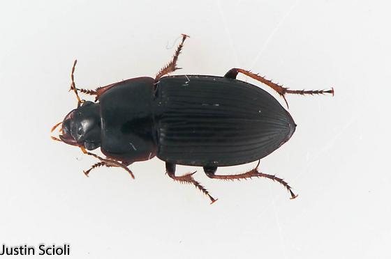 Harpalinae?  - Anisodactylus dulcicollis
