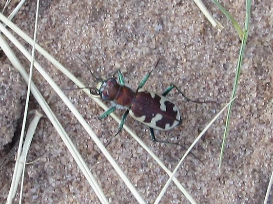 unknown bug all legs and antennae - Cicindela formosa