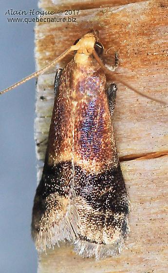 Moth - Eulogia ochrifrontella