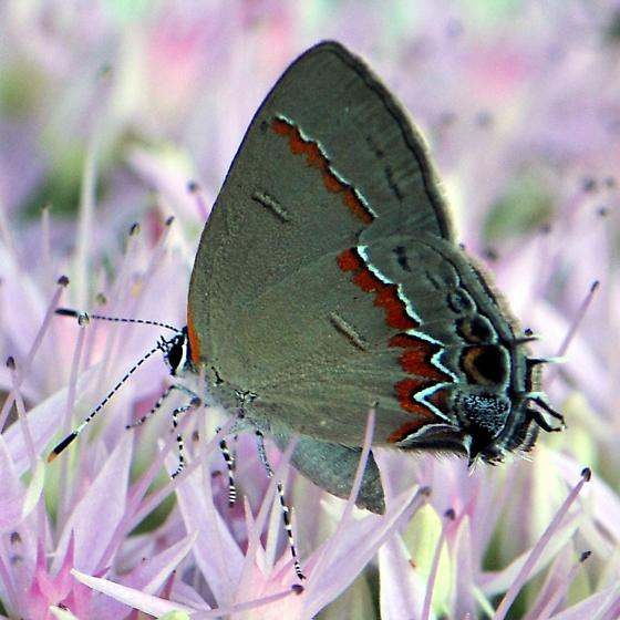 Red-banded Hairstreak - Calycopis cecrops - female