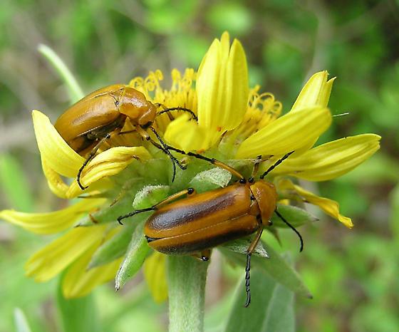 A couple - Nemognatha punctulata