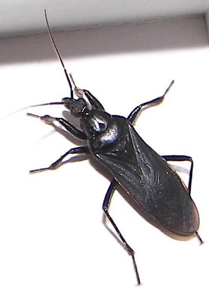 Black Corsair - Melanolestes picipes - male