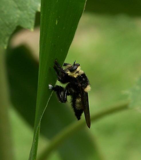 Southern Bee Killer - Mallophora orcina
