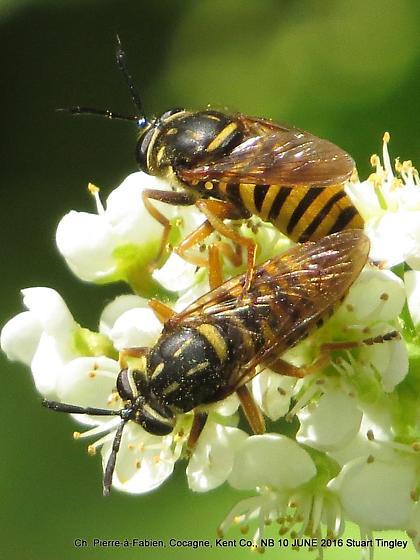 Sphecomyia vittata - male - female