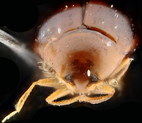 Orthoperus brunneus, anterior, higher perspective - Orthoperus