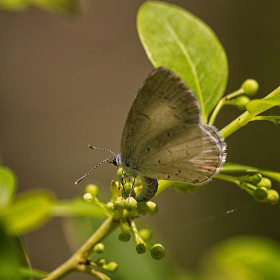 Celastrina-Azures  - Celastrina - female