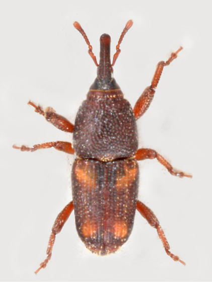 BG2379 E9171 - Sitophilus zeamais