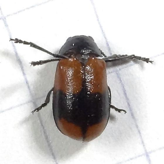 Beetle ID Request - Anomoea rufifrons