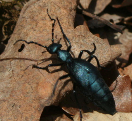 Beetle with ant form, perhaps a staphylinid rove beetle, in the