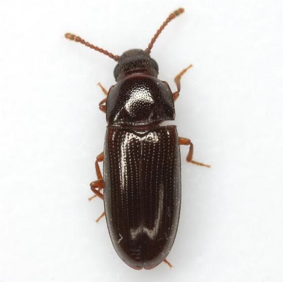 Pharaxonotha kirschii Reitter - Pharaxonotha kirschii