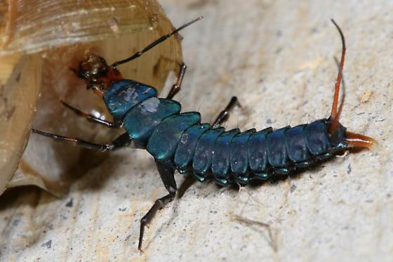 Big Blue Ground Beetle larva - Dicaelus