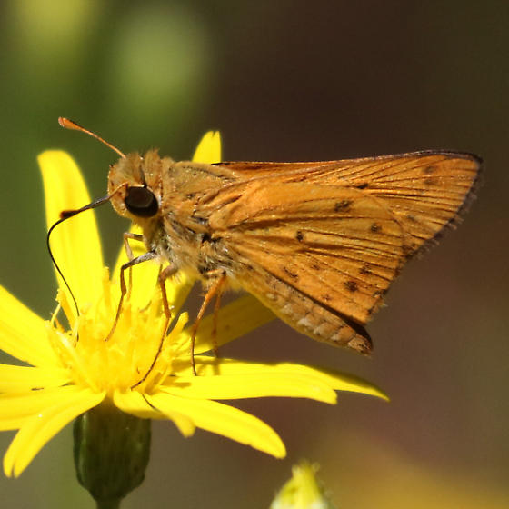 Grass Skipper (Hylephila phyleus?) on Pityopsis - Hylephila phyleus