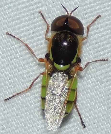 Soldier Fly - Stratiomys? - Odontomyia cincta - male