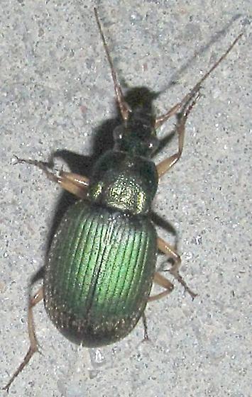 unkn carabid - Chlaenius - female