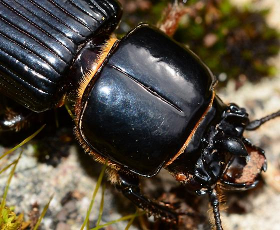 Patent-leather Beetle? - Odontotaenius disjunctus