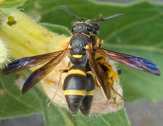 Mason Wasp - Euodynerus sp? - Parancistrocerus perennis - male - female