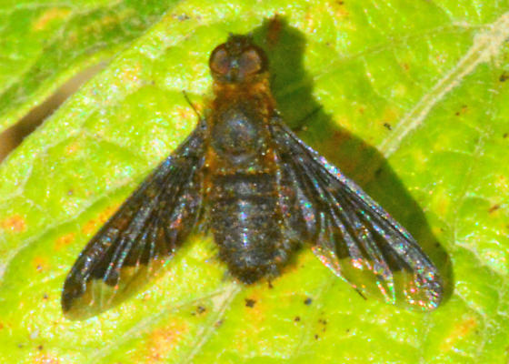 Sinuous Bee Fly for California in October - Hemipenthes sinuosa