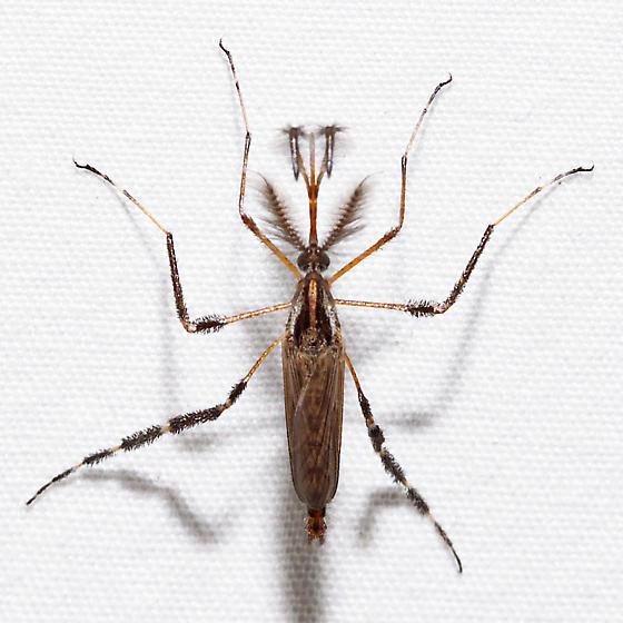 Psorophora ciliata - male