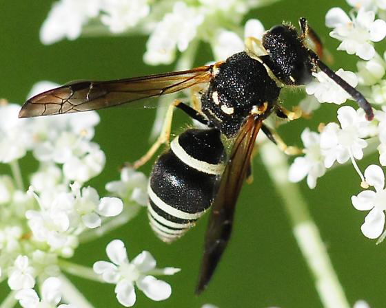 Potter or Mason Wasp Genus Ancistrocerus - Ancistrocerus - male