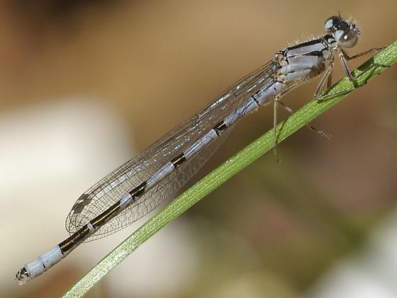 bluet - Enallagma annexum - male