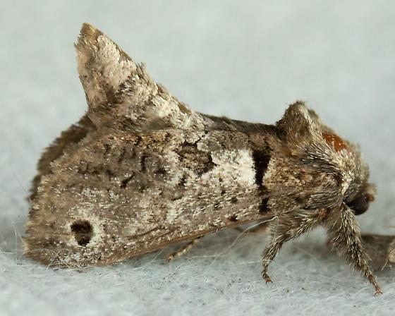 #2659.97 - Inguromorpha n. sp. - Inguromorpha n-sp
