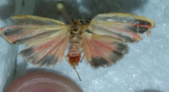 Pink and orange moth - Hypoprepia fucosa