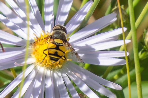 Bee - Eristalis transversa - male