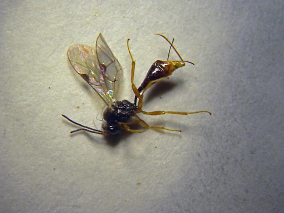 Ichneumonidae - female