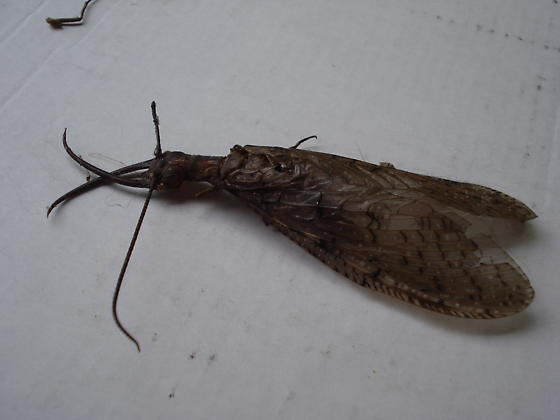 Found in Western NC mountains?? - Corydalus cornutus