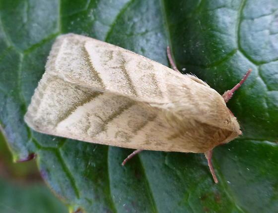 Pink-legged moth - Chloridea virescens