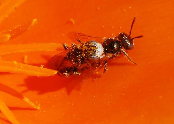 Bees Do It...On Poppies - Perdita interrupta - male - female