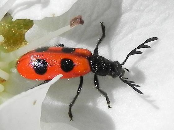 Beetle - Pelonides quadripunctata