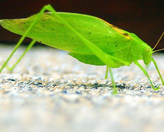 oblonged winged katydid - Amblycorypha oblongifolia - male