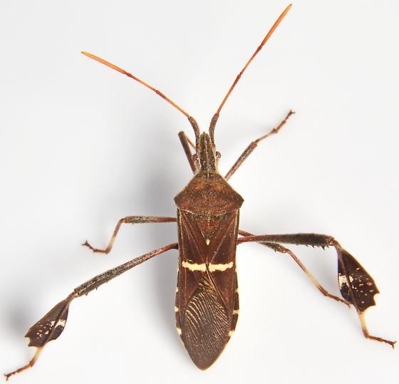 823W10 Leptoglossus - Leptoglossus phyllopus