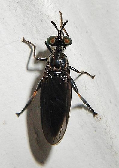 This long-neck, orange kneed black beauty is ...? - Eudioctria tibialis - female