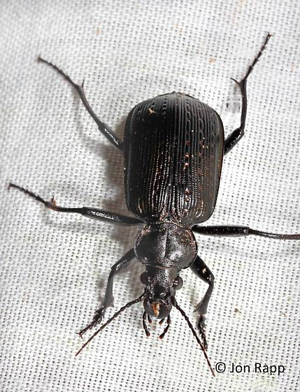 Black Caterpillar Hunter - Calosoma sayi