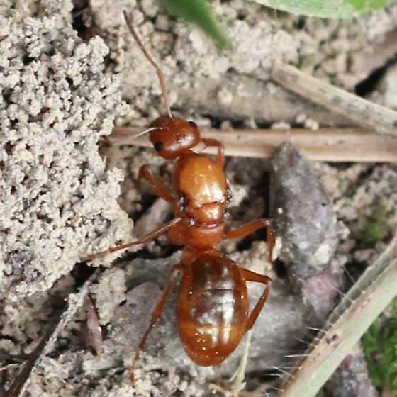 Wide Shoulder Ant? - Dorsal - Formica