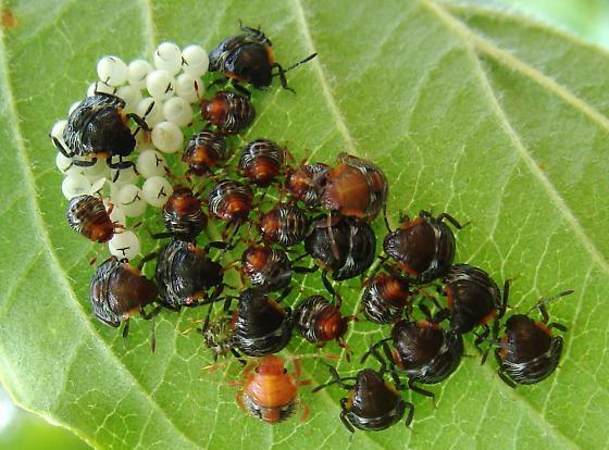 Green Stink Bug nymph gathering - Chinavia hilaris