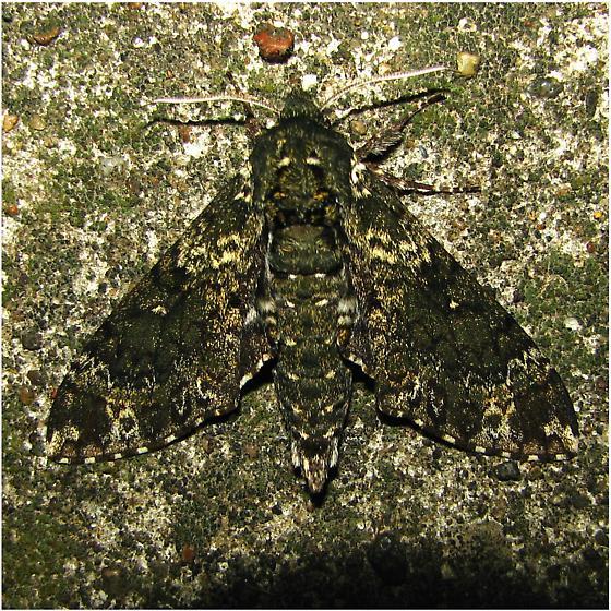Dolba hyloeus - Hodge's #7784 - Dolba hyloeus