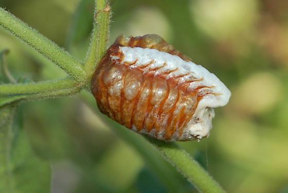 Unicorn Mantis egg case - Phyllovates chlorophaea