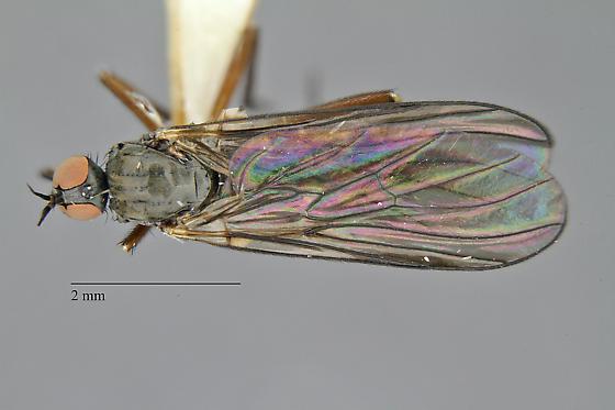 Empididae - Rhamphomyia