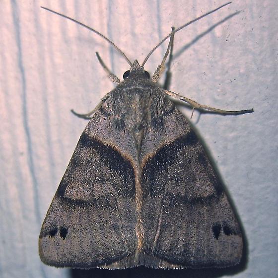 Clover Looper - Hodges #8738 (Caenurgina crassiuscula) - Caenurgina crassiuscula